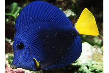 Enfermedades en el acuario marino: el punto blanco