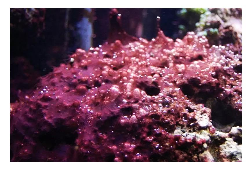 Cianobacterias, el enemigo rojo